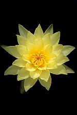 לוטוס צהוב