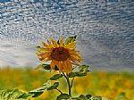 פרח החמה