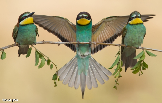 bee-eaters trio